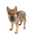 Isolated German Shepherd Puppy