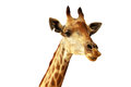 Isolated Giraffe Stock Photography