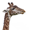 Isolated Giraffe Head Royalty Free Stock Image