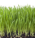 Isolated grass background fresh tall from dirt and seeds to tall green shoots on white Royalty Free Stock Photo