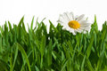 Isolated grass with daisy Royalty Free Stock Photos