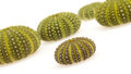 Isolated green sea urchins Royalty Free Stock Photo