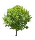 Isolated green summer oak tree Royalty Free Stock Photo