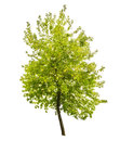 Isolated green summer small tree Royalty Free Stock Photo