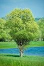 Isolated green summer tree Royalty Free Stock Photo