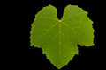 Isolated green textured grape leaf, front.