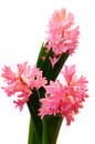 Isolated group of three pink hyacinth Royalty Free Stock Photo