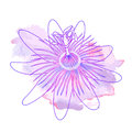Isolated hand drawn purple outline flower of passionflower, passiflora on pink violet watercolor spot. Print of curve lines. Royalty Free Stock Photo