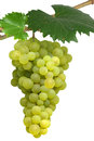 Isolated hanging grapes bunch of white on vine Royalty Free Stock Images