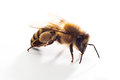 Isolated honeybee object on white background Stock Photos
