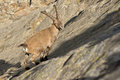 Isolated ibex deer long horn sheep steinbock an close up portrait on the brown and rocks background in italian dolomites Royalty Free Stock Photo