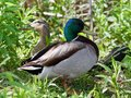 Background with a pair of mallards standing Royalty Free Stock Photo