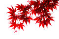 Isolated Japanese red maple leaf Royalty Free Stock Photo