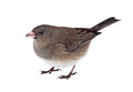 Isolated junco dark eyed hyemalis on white Royalty Free Stock Photo