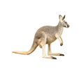 Isolated kangaroo an on white background Stock Image
