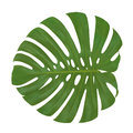 Isolated leaf Monstera plant white background. Exotic tropical palm tree