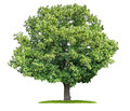 Isolated lime tree on a white background old Royalty Free Stock Photos