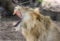 An isolated Lion yawning with large canine teeth
