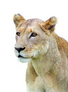 Isolated lioness african over white Stock Photography