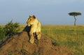 Head of large lioness. Kenya