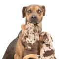 Isolated louisiana catahoula dog which is scared of parenting two puppies Royalty Free Stock Image