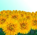 Low poly Sunflower field with blue sky, Nature geometric concept,Abstract vector