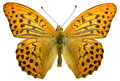 Isolated male Silver-washed Fritillary butterfly Royalty Free Stock Photo