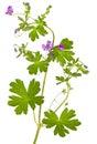 Isolated Malva sylvestris plant Royalty Free Stock Photo