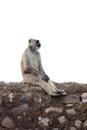 Isolated Monkey Sitting