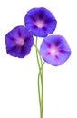 Isolated morning glory flowers Royalty Free Stock Photo