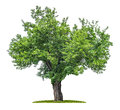 Isolated mulberry tree on a white background Stock Image