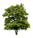 Isolated Norway Maple Tree