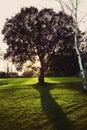 Isolated Oak Tree