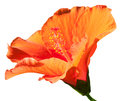 Isolated of orange hibiscus flower on white background Royalty Free Stock Image