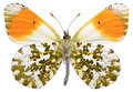Isolated orange tip butterfly macro of male anthocharis cardamines seen from below and on white background Stock Image