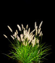 Isolated Ornamental Grass on Black Stock Image