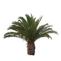 Isolated Palm Tree Royalty Free Stock Photo