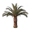 Isolated palm tree photo of a on white background png file with full transparency is available as additional format Royalty Free Stock Image