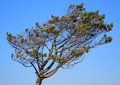 Isolated pinetree formed by the west wind vind ind denmark Royalty Free Stock Image