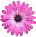 Isolated pink Cape Marguerite Daisy Royalty Free Stock Photo
