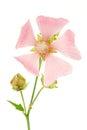 Isolated Pink Malva Royalty Free Stock Photo