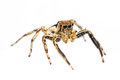 Isolated Plexippus Petersi spider Stock Photography