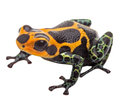 Isolated poison dart frog macro tropical exotic pet animal from amazon rain forest in peru beautiful cute animal ranitomeya Royalty Free Stock Photos