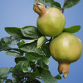 Isolated pomegranates two on a tree in india Stock Photo