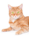 Isolated red cat Stock Photography