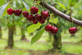Isolated red cherries on tree in cherry orchard Royalty Free Stock Photo