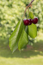 Isolated ripe red cherries in cherry orchard Royalty Free Stock Photo