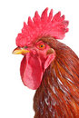 Isolated rooster portrait Royalty Free Stock Images