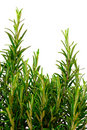 Isolated rosemary bush Royalty Free Stock Photo