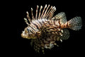 Isolated shot of a lion fish an the very beautiful and venomous pterois volitans Royalty Free Stock Image